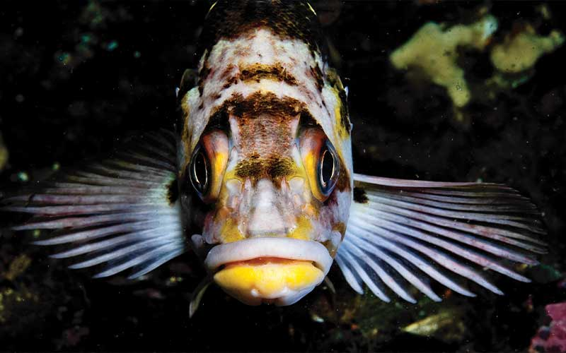 Fish with yellow lips stares right likely at the camera