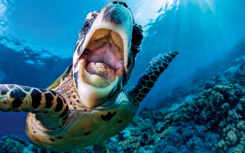 Giant sea turtle smiling at camera