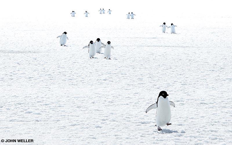 Cute penguins waddle on ice