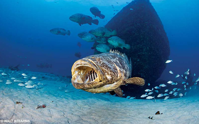 A grouper, with a ship in the background, as its mouth open