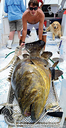 Grouper out of water getting monitored