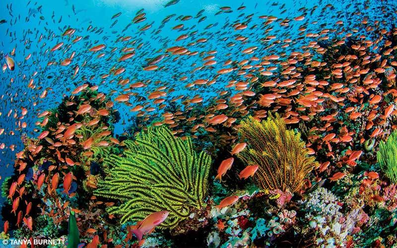 Anthias fish feed around plants