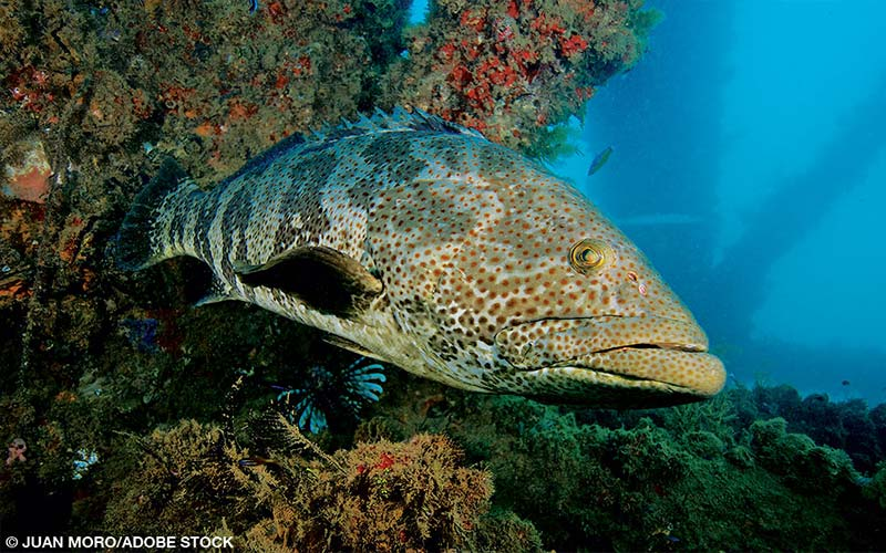 A giant grouper pokes its head out of some coral