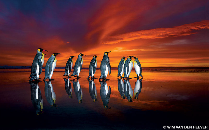 A group of king penguins go for a walk at sunset