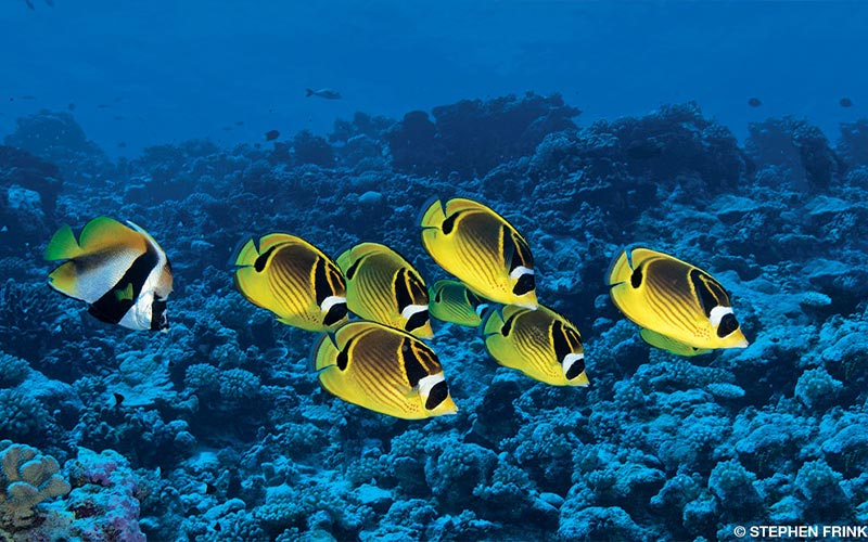 A school of adorable, yellow raccoon butterfly fish