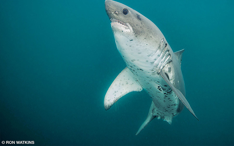 A happy salmon sharks swims the waters of Alaska