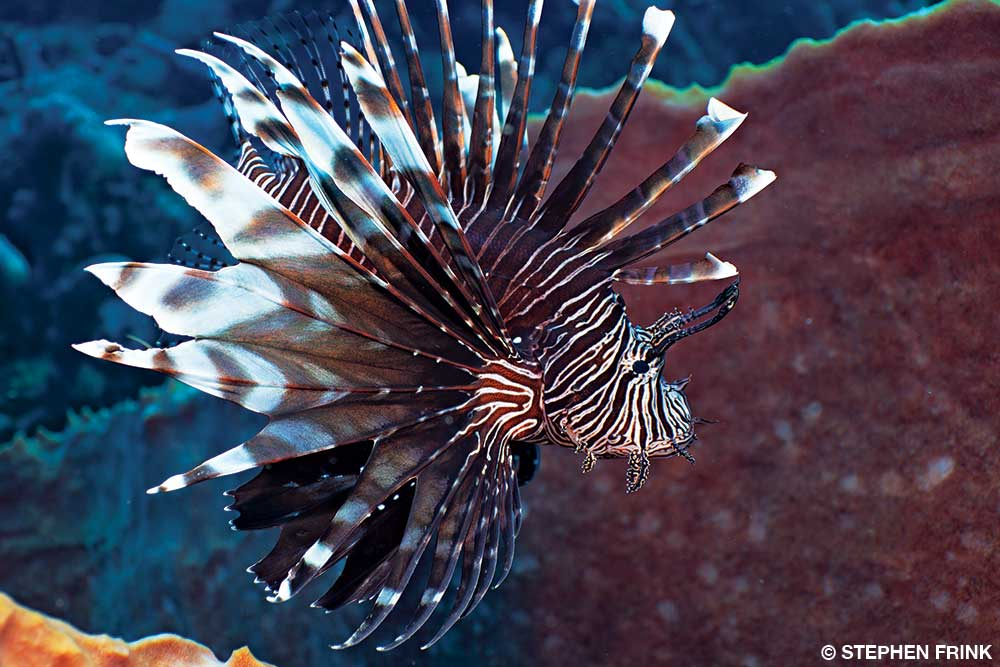 A melancholy lionfish swims about looking for someone to sting.