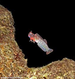 A male throatspot blenny (Nannosalarias nativitatis) signal jumps.