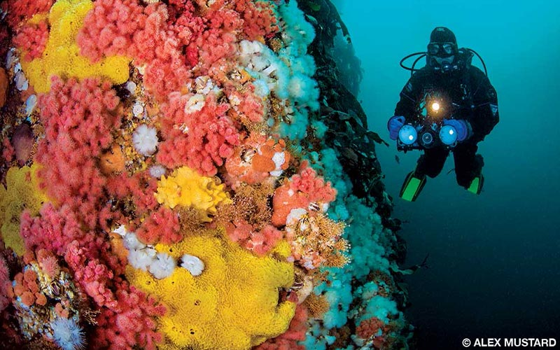 A cold-water diver floats near coral