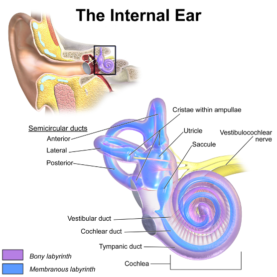This image has an empty alt attribute; its file name is internal_ear_diagram.png
