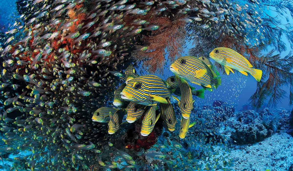 A giant school of yellow fish swarm the camera