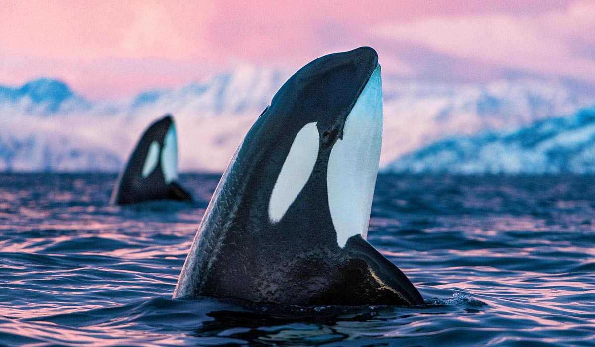Two orca whales pop out of the water at sunset