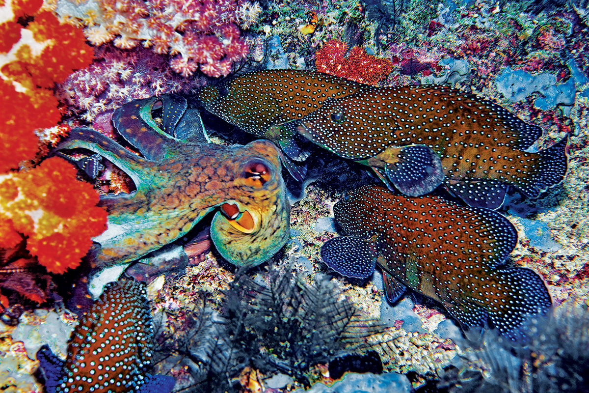 Octopus and peacock groupers