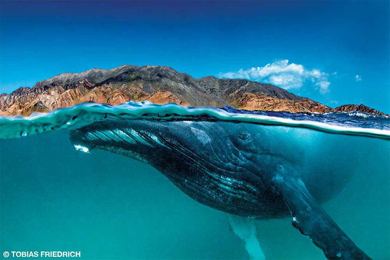 Split shot of a humpback whale in the Khuriya Muriya Islands
