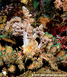 A 4-inch decorator crab hides in plain sight.