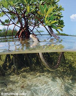 A Bimini boa in a red mangrove