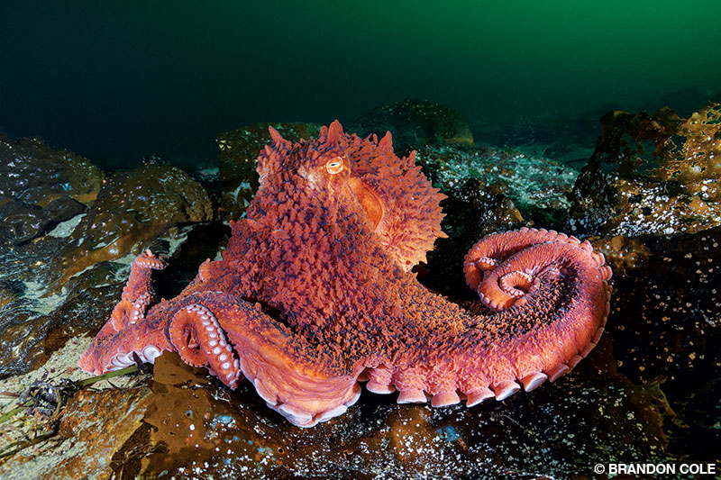 A giant Pacific octopus moves across a kelp-covered bottom.