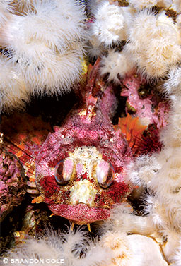 A Red Irish lord is surrounded by plumose anemones.
