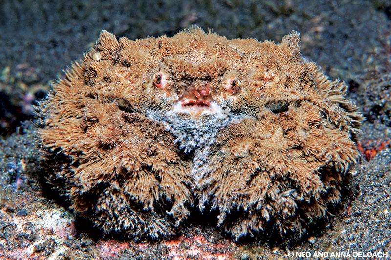 A toylike teddy bear crab is shrouded in algae.
