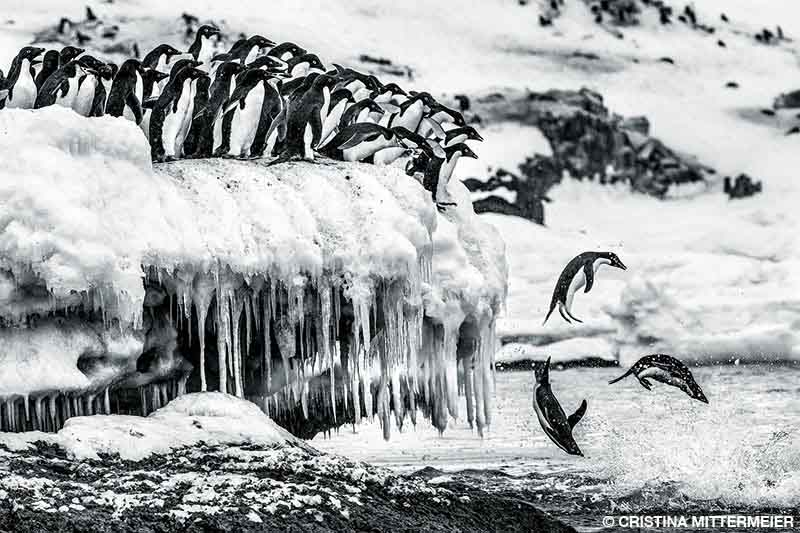 Adélie penguins packed against each other on a frozen ledge in Antarctica leap into the water.