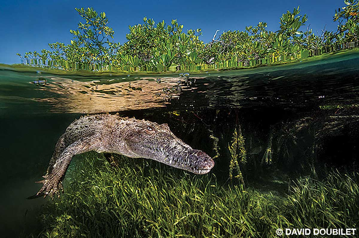 An American crocodile rests midwater above a seagrass bed
