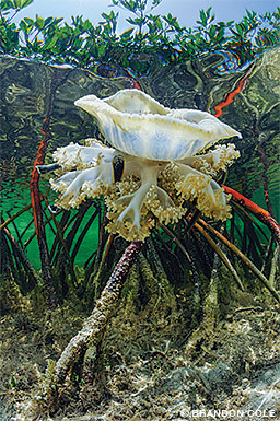 An upside-down jellyfish in the Bahamas mangroves