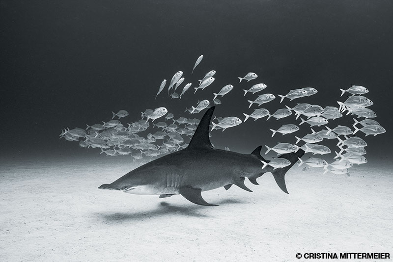 Bahamas great hammerhead barrels through a small school of jacks just to watch them scatter.