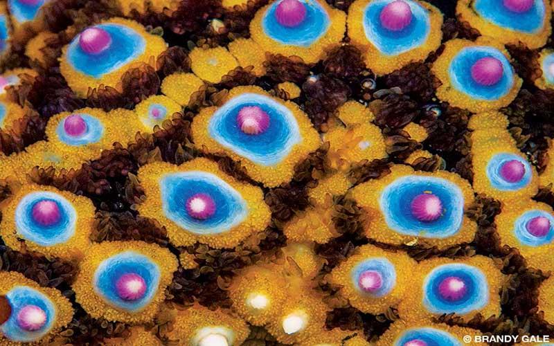 A close-up photo of a blue knobby sea star