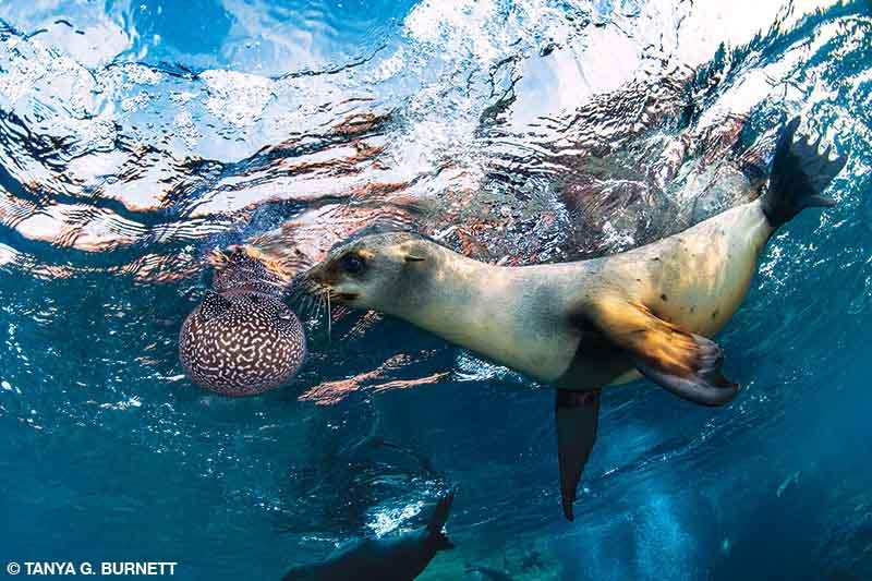 A California sea lion inspects a guineafowl puffer near the surface