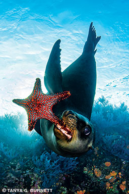 California sea lion pup plays with a starfish
