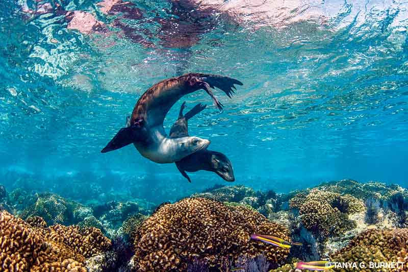 California sea lions playing in shallow water over corals