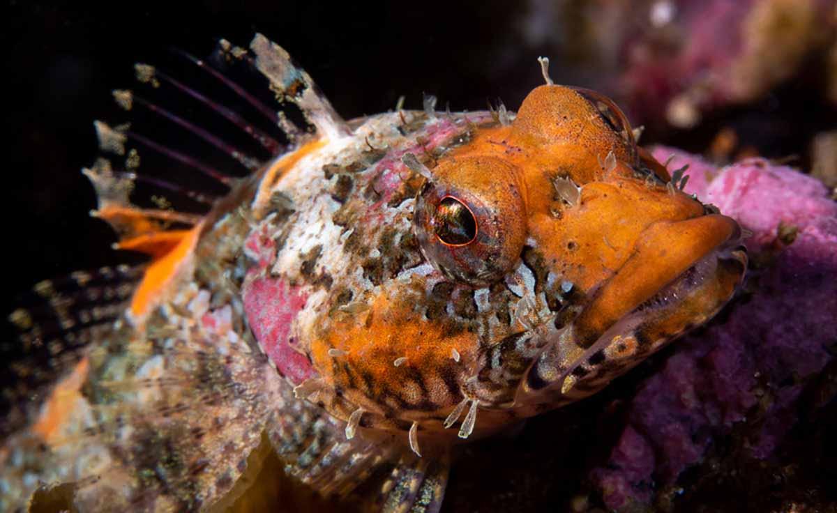 a close-up photo of a coralline sculpin