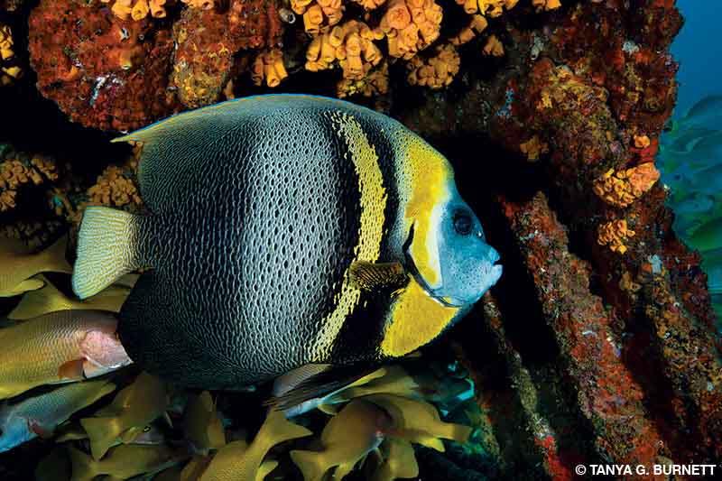 A Cortez angelfish feeding on sponges on a shipwreck