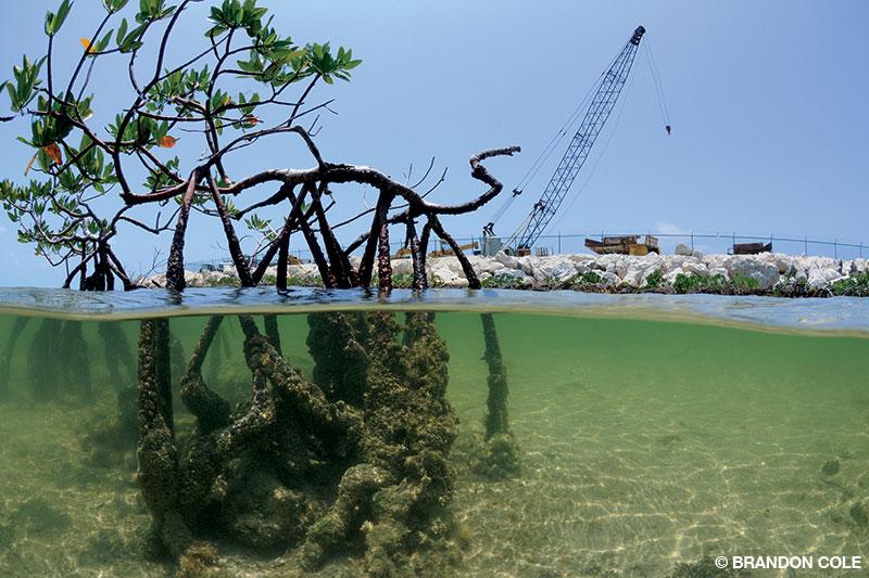 red mangroves near construction equipment in Bimini, Bahamas.