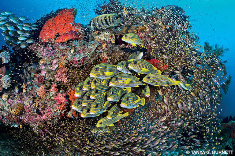 A school of diagonal-banded and goldlined sweetlips fish in Yenbuba Mansuar