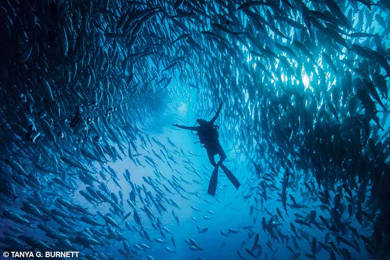 A diver is astounded by the sheer size of the school of bigeye jacks at Cabo Pulmo.