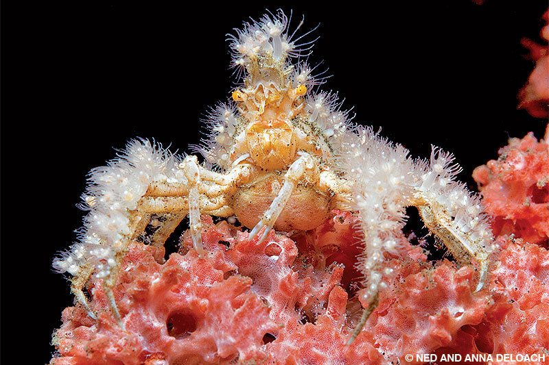 A decorator crab is perched among red hydroids.