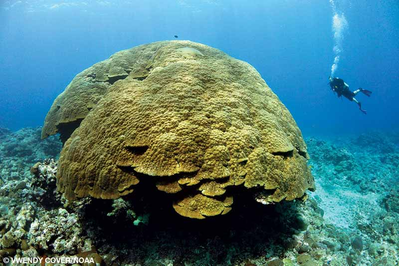One of the world's largest corals is 21 feet tall with a circumference of 134 feet.