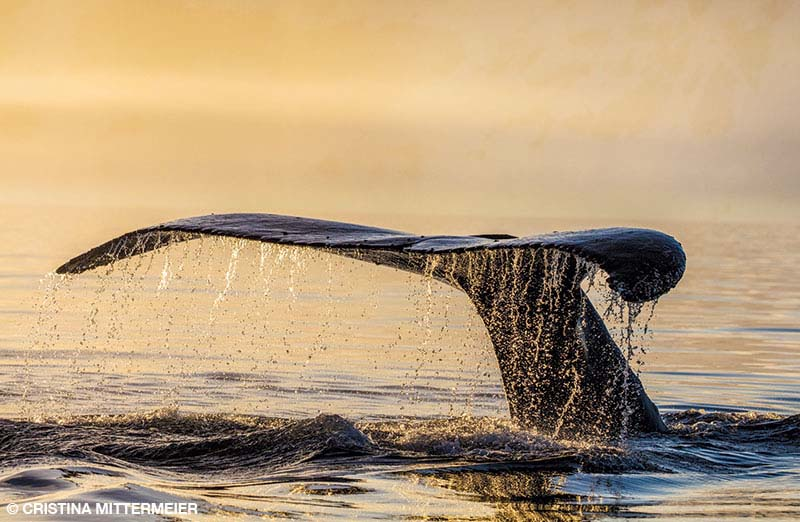 The fluke of a humpback whale lifts above the sea in the warm glow of dusk off the coast of the Antarctic Peninsula.