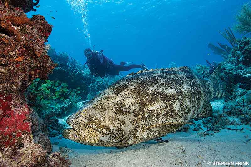 Goliath grouper with a diver in the background
