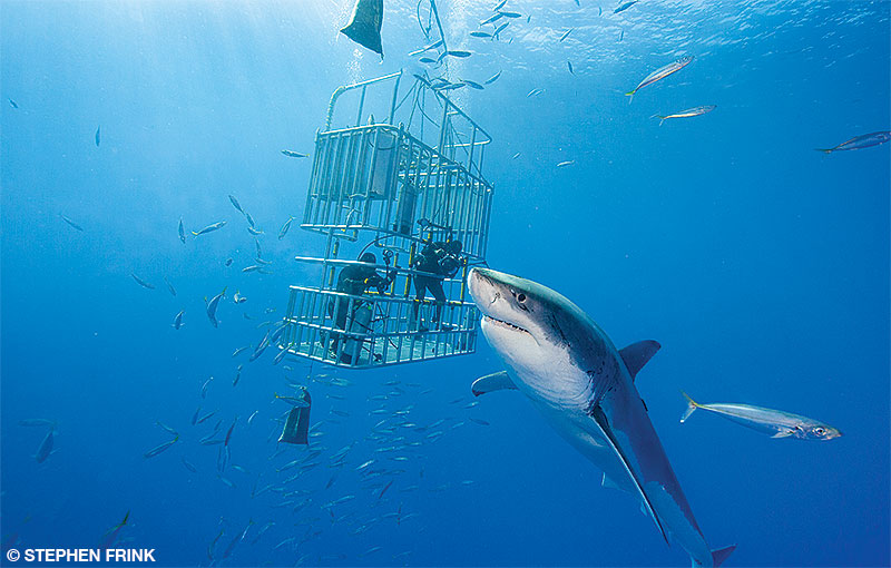 great white shark swims near a cage with divers