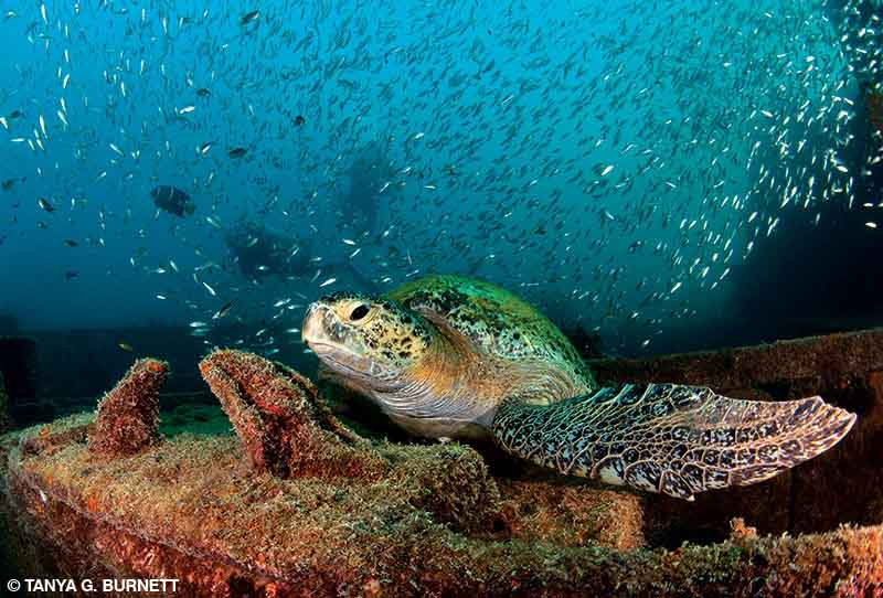 Green sea turtle rests on the deck of a shipwreck with lots of small fish swimming in the background