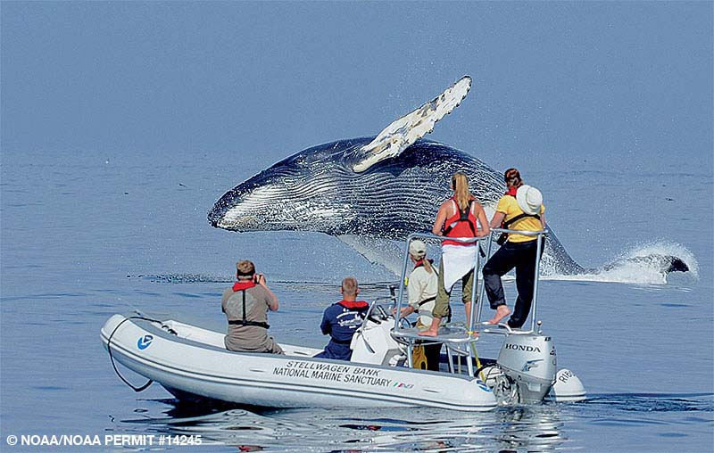A humpback whale breaches the surface as a people in an inflatable boat watch.