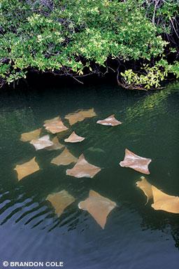 Juvenile golden cownose rays swim in Galápagos mangroves