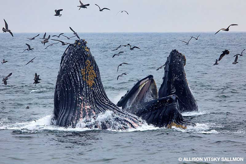 Lunge-feeding humpback whales break the surface in Monterey Bay.