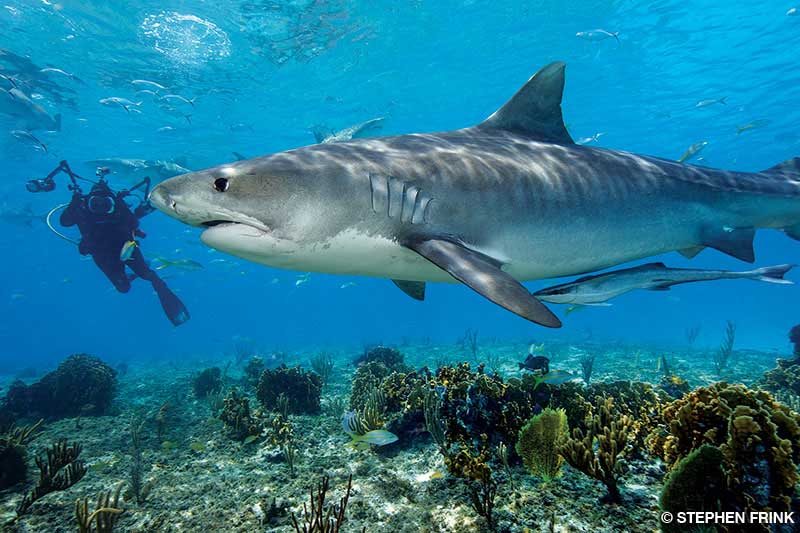 Underwater photographer and tiger shark