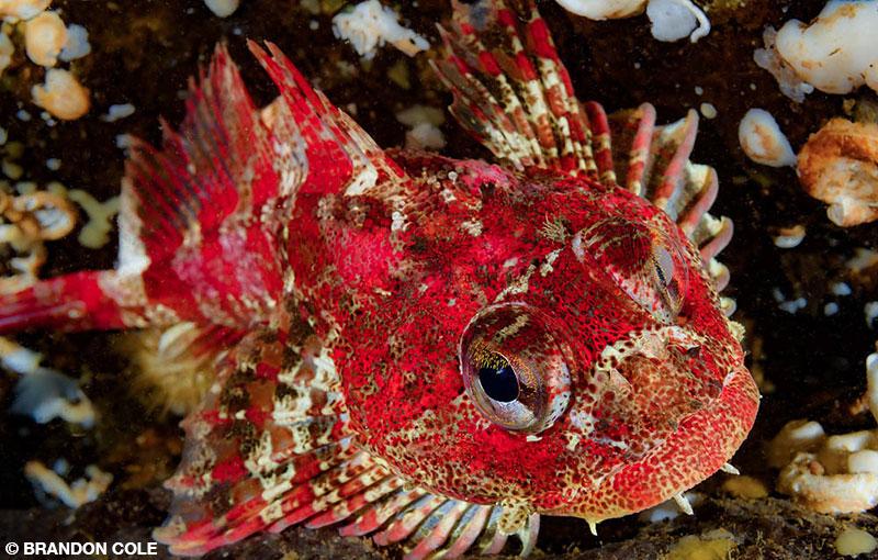 red Irish lord fish at Howe Sound