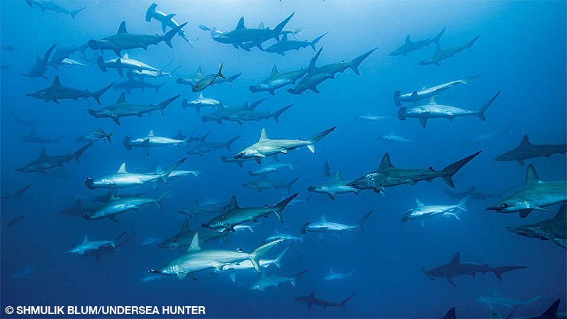 scalloped hammerhead sharks swimming in the ocean off Cocos Island