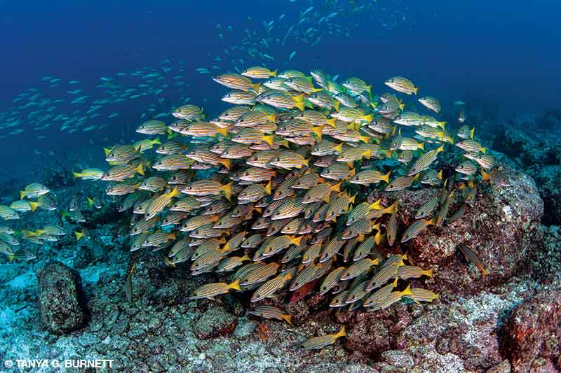 A school of blue-lined snapper