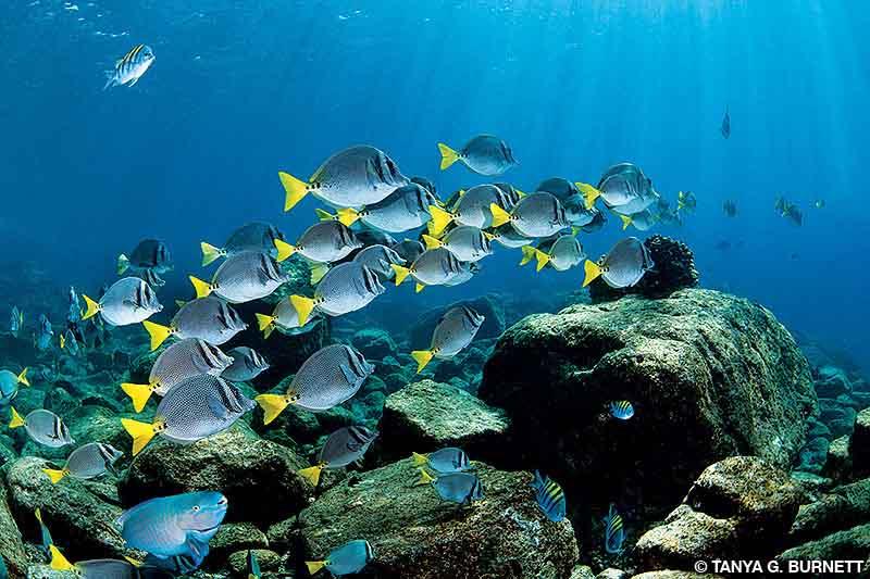 A school of yellowtail surgeonfish feeding on algae-covered boulders